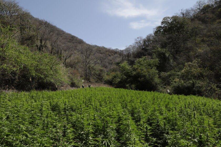 ¿Hay que legalizar la marihuana? - Página 20 ?url=https%3A%2F%2Fcalifornia-times-brightspot.s3.amazonaws